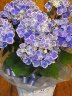 母の日ギフト「紫陽花Blue」