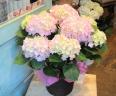 母の日ギフト「紫陽花ピンクキャンディー」