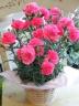 母の日ギフト「カーネーション ピンクピンク」