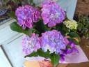 母の日ギフト「あじさい・・青紫」