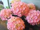 紫陽花ギフト「まるまるベビーピンク」