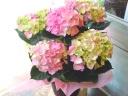 お花のギフト「紫陽花・・・ピンクの優しさ」