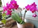 蘭の贈物「キュートなミニ胡蝶蘭ピンク」
