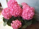 紫陽花の贈り物「エビータ」