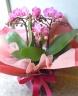 母の日ギフト「高貴なミニ胡蝶蘭」