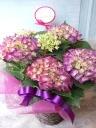 母の日ギフト「あじさい パリ紫」