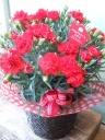 母の日「真っ赤なカーネーション」
