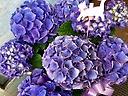 母の日ギフト「青紫の紫陽花」