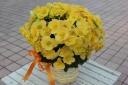 エラチオールベコニア*八重咲きイエロー