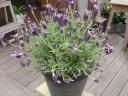 """ French lavender"""