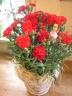 """mother's carnation"""