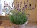"""""""mother's lavender"""""""