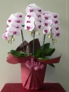胡蝶蘭 ぼかしピンク 3本立ち