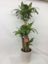 幸福の樹 ドラセナ マッサンゲアナ