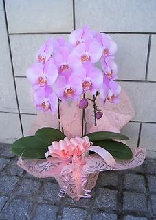可愛い きれいなピンクの胡蝶蘭 超豪華だね!