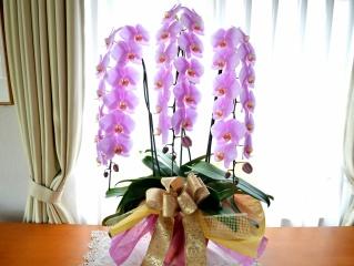 胡蝶蘭 ピンク 3本立て お祝い用 6L 配達無料