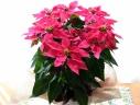 プリンセチア ホットピンク (ポインセチアの花鉢)