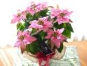 プリンセチア ピンクホワイト (ポインセチアの花鉢