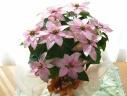 プリンセチア シャンパーニュ (ポインセチアの花鉢
