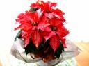 ポインセチア アイスパンチ 赤