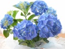 母の日|アジサイ 手毬型 ブルー 5寸