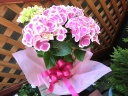 母の日|アジサイ ババリア ピンク 5寸