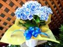 母の日|アジサイ ババリア ブルー 5寸