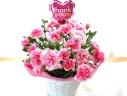 母の日|カーネーション花鉢 フィナンシェ