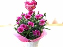 母の日|カーネーション花鉢 オルフィカ