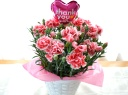 母の日|カーネーション花鉢 チェリータルト