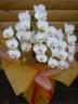 ミニ胡蝶蘭アマビリス3~4本立ち