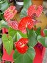 赤いアンスリュームの鉢植え