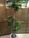 観葉植物 バッサイヤ