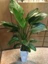 観葉植物 オーガスタ 白陶器