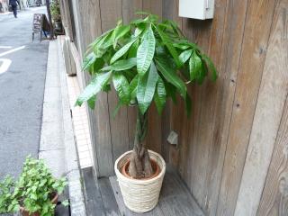 観葉植物 パキラ8号(鉢カバー付き)