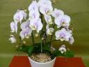 うすピンク 胡蝶蘭 (7号鉢)