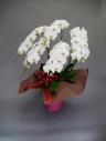 フォーマルな贈り物を胡蝶蘭で
