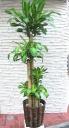 幸福の木 L635