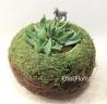 多肉植物 PL664