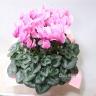ピンク色のシクラメン PL821