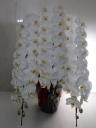 最高級胡蝶蘭白3本立