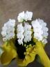 お花が長く咲く胡蝶蘭 アマビリス