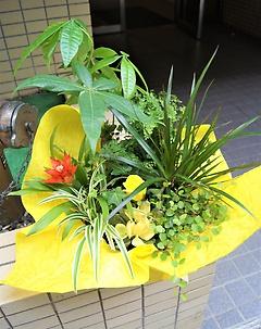 お金ザクザク☆黄金の金の生る木+観葉7種類寄せ鉢
