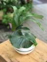 プラティセリウム(コウモリラン)グランデUFO鉢