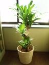 「ドラセナ・マッサンゲアナ」~幸福の木