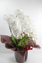 お祝い花・高級・豪華胡蝶蘭鉢G/BR1