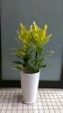 観葉植物【クロトン】陶器鉢付き