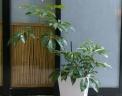観葉植物【ツピタンサス】陶器鉢付き