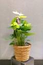 観葉植物【アンスリウム】白