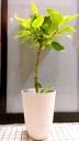 観葉植物【アルテシマ】鉢カバー付き